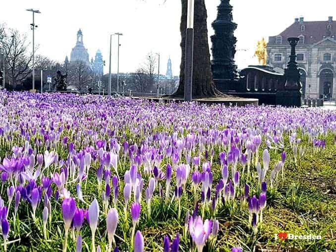 Frühlingserwachen in Dresden Krokus